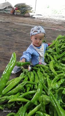山东省潍坊市昌乐县绿皮西葫芦 0.8~1斤