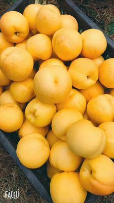 山东省烟台市牟平区晚黄金油桃 4两以上 55mm以上