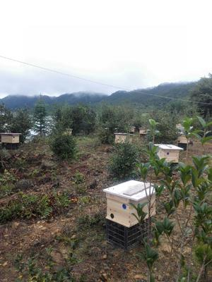 福建省三明市大田县中华蜜蜂
