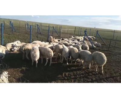 内蒙古自治区锡林郭勒盟锡林浩特市绵羊肉 生肉