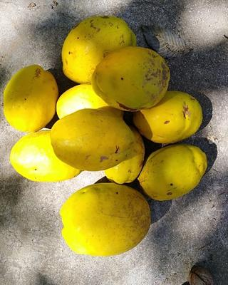 山东省泰安市肥城市宣木瓜 1.5 - 2斤