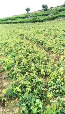 湖南省湘西土家族苗族自治州古丈县麻皮八月瓜 种植 140-150g