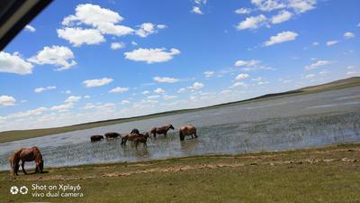 内蒙古自治区锡林郭勒盟太仆寺旗肉马 600-800斤