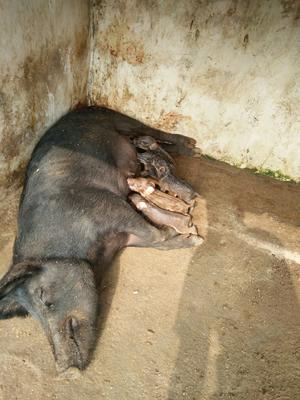 山东省济宁市嘉祥县特种野猪 20-30斤 统货