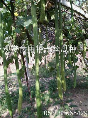 山东省菏泽市曹县丝瓜种子