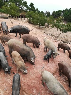 云南省玉溪市峨山彝族自治县生态野猪 160斤以上 统货