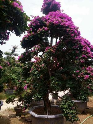 福建省漳州市龙海市紫花三角梅 4米以上