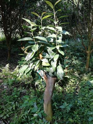 广西壮族自治区河池市宜州市金花茶 10~15cm