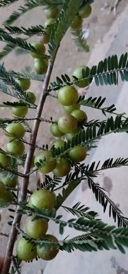 云南省普洱市澜沧拉祜族自治县油橄榄