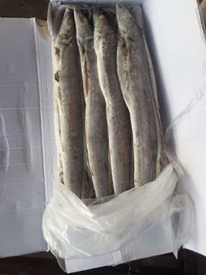 山东省日照市东港区印度带鱼 野生 1-1.5公斤