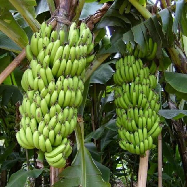 威廉斯香蕉苗  中蕉九号香蕉苗