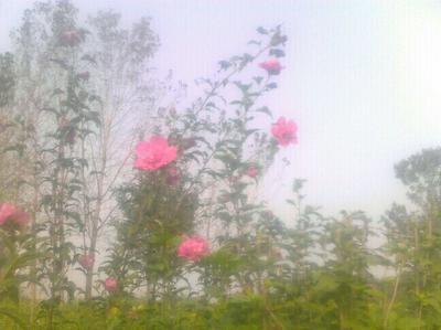 山东省菏泽市巨野县红花木槿