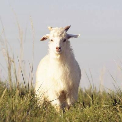 内蒙古自治区鄂尔多斯市杭锦旗羊肉类 生肉