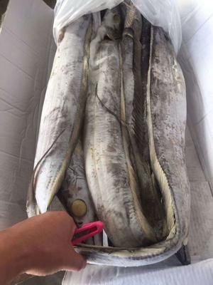 山东省日照市东港区西非带鱼 野生 1-1.5公斤