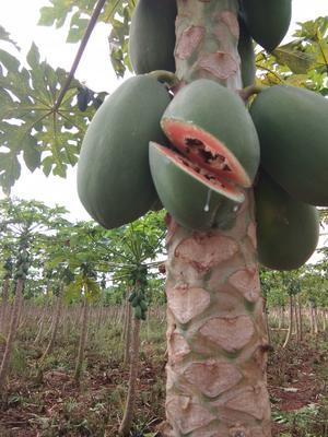 广西壮族自治区钦州市灵山县红心木瓜 1 - 1.5斤