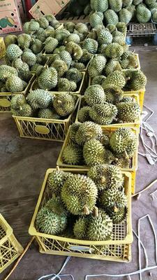 福建省泉州市南安市金枕头榴莲 80 - 90%以上 2 - 3公斤