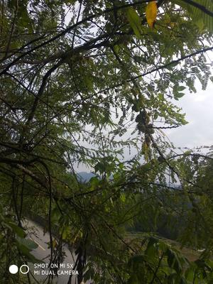 广西壮族自治区百色市隆林各族自治县野生余甘果 2cm以下