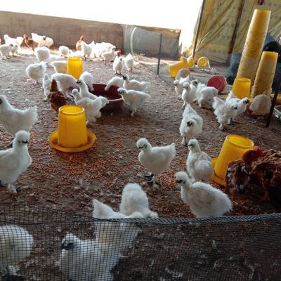 河南省周口市西华县白凤乌鸡 2-3斤