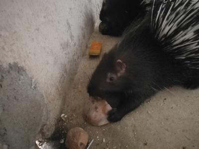 安徽省滁州市定远县安徽豪猪 20-30斤