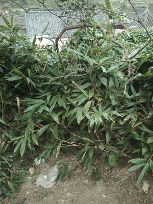 贵州省黔东南苗族侗族自治州凯里市大叶子枇杷 1两以上