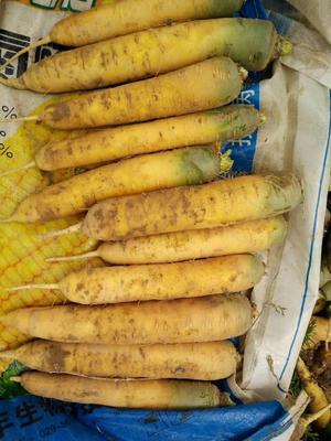 陕西省榆林市定边县黄胡萝卜 15cm以上 3两以上 4~5cm