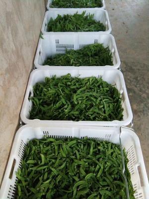 云南省红河哈尼族彝族自治州建水县奇珍甜豆76号 12cm以上