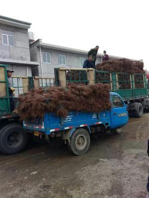 天津蓟县爬山虎 1~1.5米 1公分以下