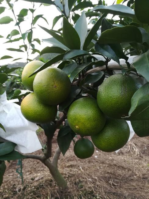 红美人柑橘苗 嫁接苗 0.5~1米