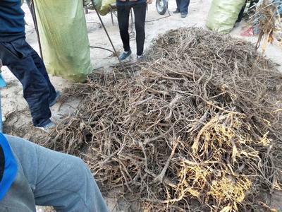 陕西省榆林市子洲县黄芩