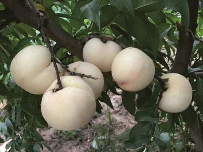 白如玉桃树苗 1~1.5米