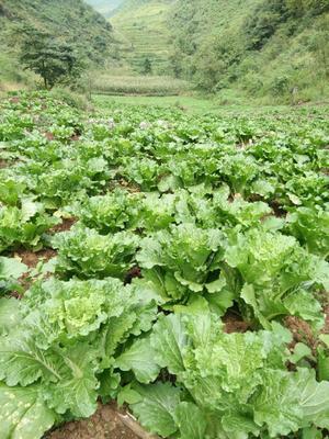 贵州省六盘水市水城县麻叶青白菜 2~3斤 毛菜