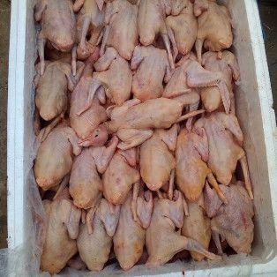 云南省昆明市石林彝族自治县肉鸽肉 新鲜
