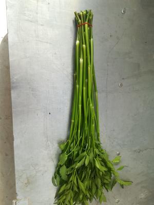 江苏省南通市通州区尖叶水芹 40~45cm