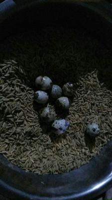 贵州省黔东南苗族侗族自治州天柱县土鹌鹑蛋 食用 箱装