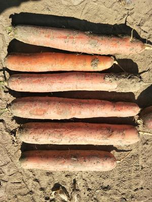 宁夏回族自治区固原市西吉县长红胡萝卜 15cm以上 3两以上 3~4cm