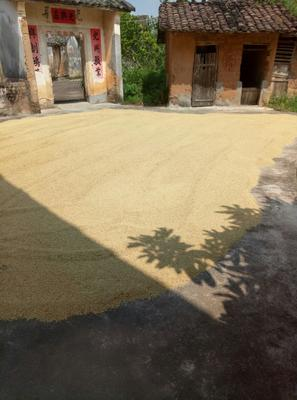 广东省梅州市平远县杂交稻 中稻