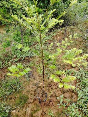 四川省眉山市东坡区南方红豆杉 0.5~1米
