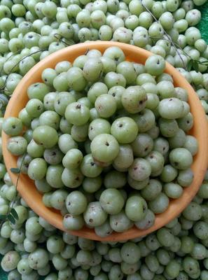 广西壮族自治区梧州市万秀区野生余甘果 2cm以下