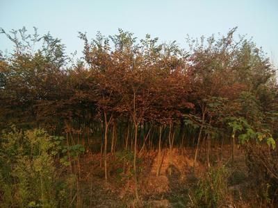 安徽省宣城市宣州区大叶榉树