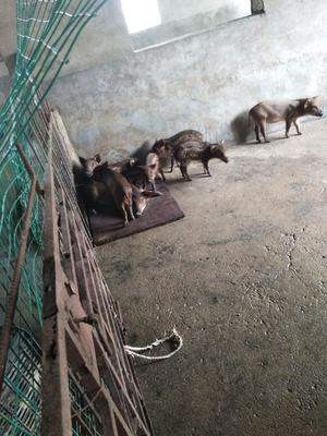 江苏省连云港市灌云县生态野猪 20-30斤 统货