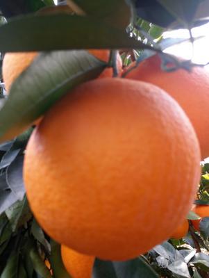 甜橙 65 - 70mm 4-8两