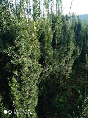 陕西省西安市周至县曼地亚红豆杉 1.5~2米