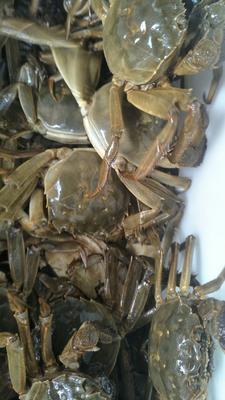江苏省泰州市兴化市洪湖螃蟹 2.0-2.5两 母蟹