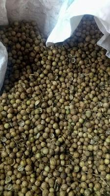 甘肃省张掖市民乐县香菜种子
