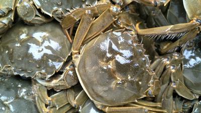 江苏省泰州市兴化市兴化螃蟹 3.0-3.5两 母蟹