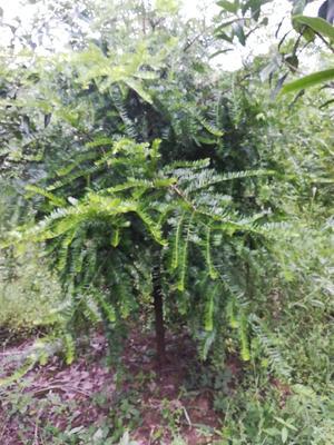 湖南省湘西土家族苗族自治州凤凰县南方红豆杉 2.5~3米