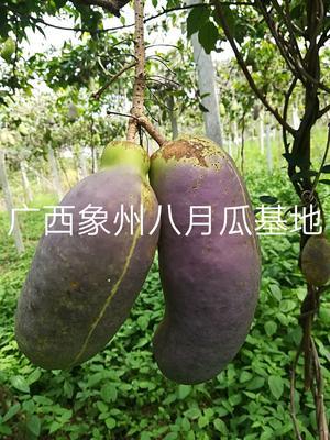 广西壮族自治区来宾市象州县天紫二号八月瓜 种植 150g以上