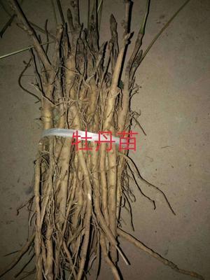 山西省临汾市曲沃县油用牡丹种苗 2cm以下 4cm以下 0.5米以下