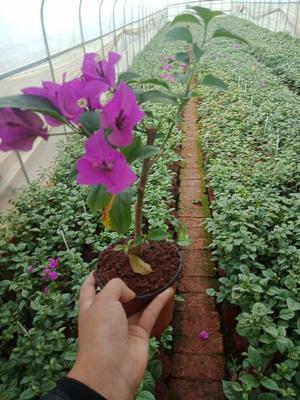 云南省昆明市呈贡区紫花三角梅 0.2~0.5米