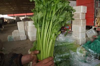 河北省邯郸市丛台区香芹 50~55cm 大棚种植 0.5斤以下